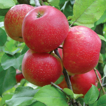 Load image into Gallery viewer, Honeycrisp Apple