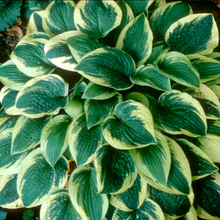 Load image into Gallery viewer, Hosta 'Wide Brim'