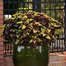 Load image into Gallery viewer, Coleus Pineapple Surprise