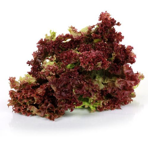 Lettuce - Hydro Red Leaf , NC- Head