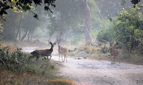 Deer at Corbett