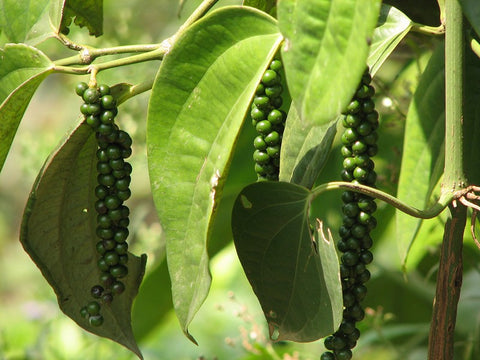 Peppercorns in a Spice Plantation