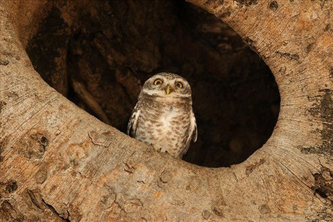 A spotted owlet's banyan tree watchtower