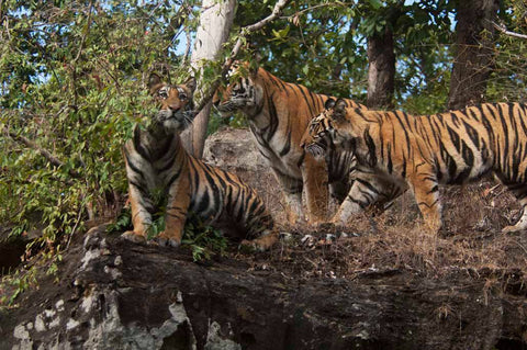 A litter of tigers at Bandhavgarh