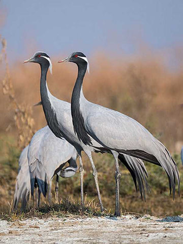 Demoiselle Cranes at Tal Chhapar