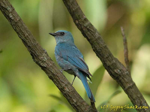A Verditer Flycatcher spotted at Jhaltola