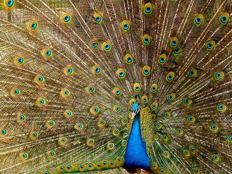 Peacock at Pakshipathalam