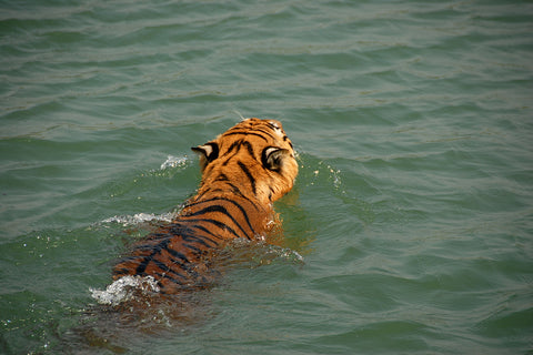 Royal Bengal Tiger in Sundarban