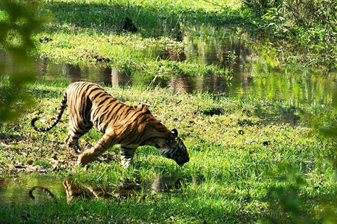A tiger at Bandhavgarh National Park