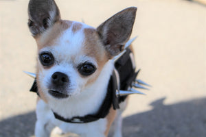 Chihuahua in spiked protection harness