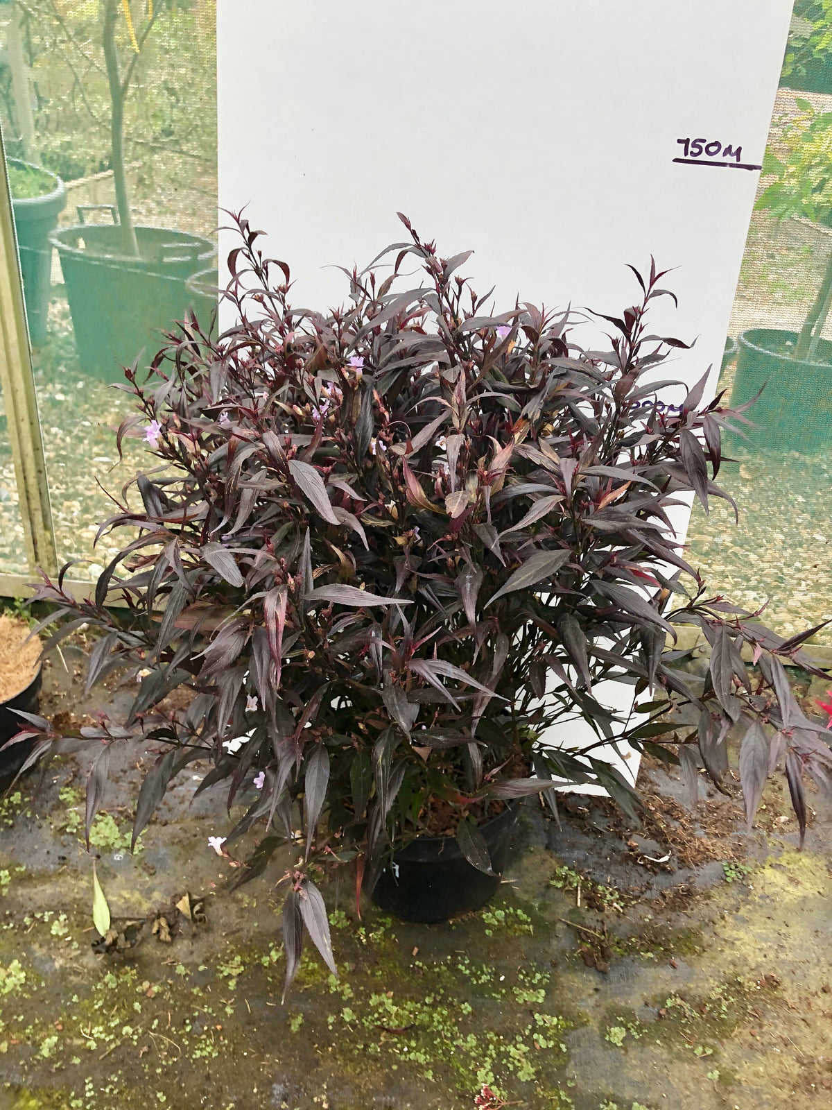 Strobilanthes Brunethy