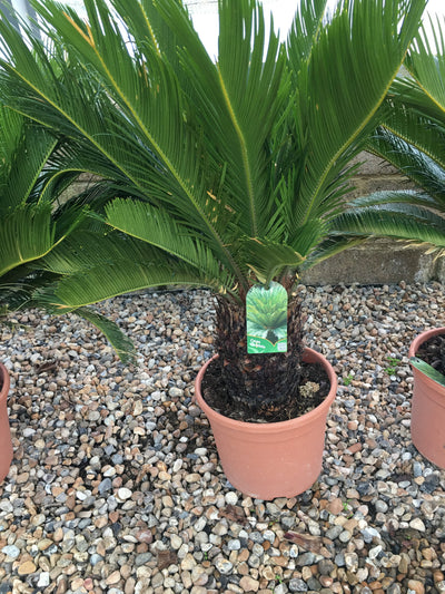 Japanese Sago Palm