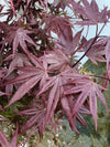 Acer Palmatum 'Bloodgood' Big