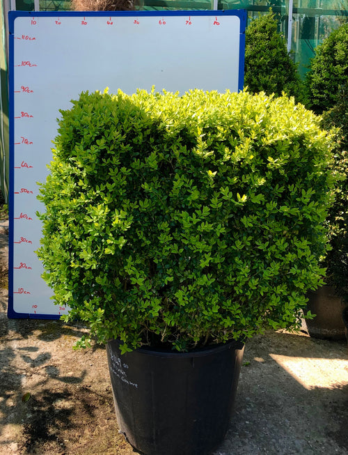 Buxus Tree Square