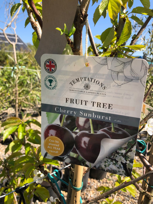 Fruit Tree 'Cherry Sunburst'