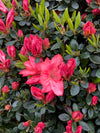 Rhododendron 'Blaauw's Pink'
