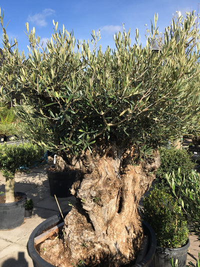 Old Olive Tree - 500 years old onwards