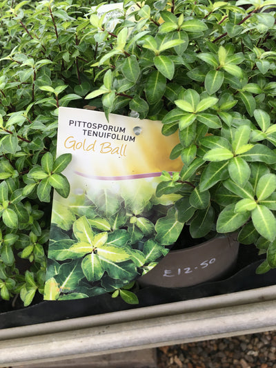 Pittosporum Gold Ball
