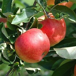 Apple Tree ''Malus Domestica''