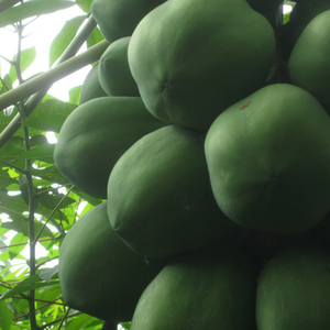 Load image into Gallery viewer, Young Papaya
