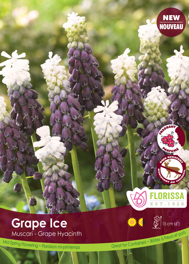 Muscari - Grape Ice Bulk