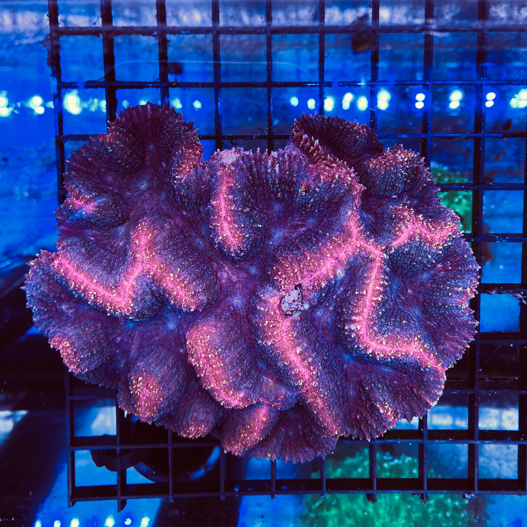 Red and Purple Symphyllia  XL - WYSIWYG - City Coral