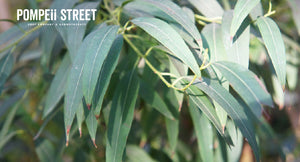 Eucalyptus Radiata - a 1,8 cineole-rich favorite