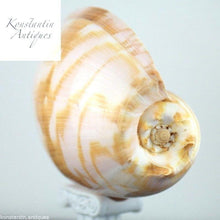 Load image into Gallery viewer, Large sea snail Indian Volutidae Melo Melo shell from Indonesia