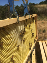 honey bees building out comb