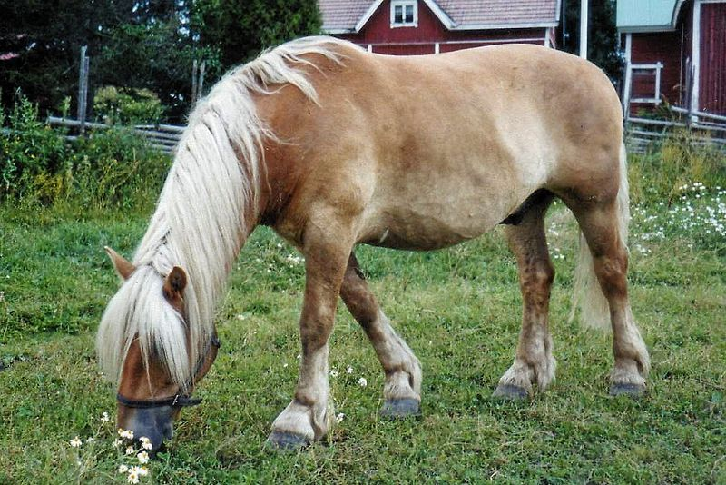 The North Swedish Horse That Forever Changed My Life for the Better