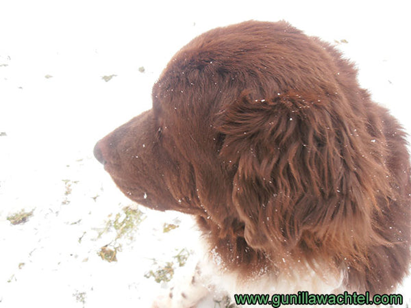 Cleo the Newfoundland Dog - Kanweienea Kreations