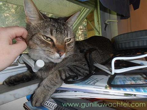 Tiggy the Tabby - Studio Helper - Kanweienea Kreations