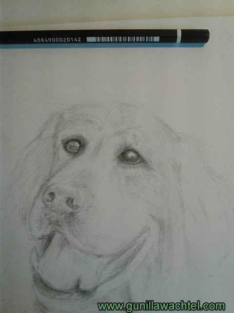Golden retriever pencil art dog drawing Gunilla Wachtel animal artist