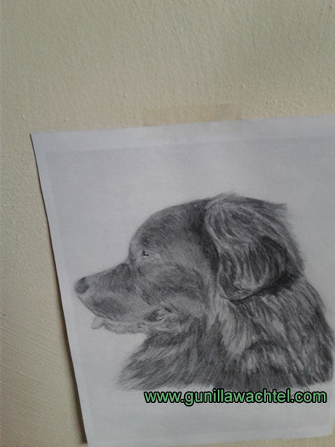 This is a print of my original drawing of a Newfoundland dog. Gunilla Wachtel