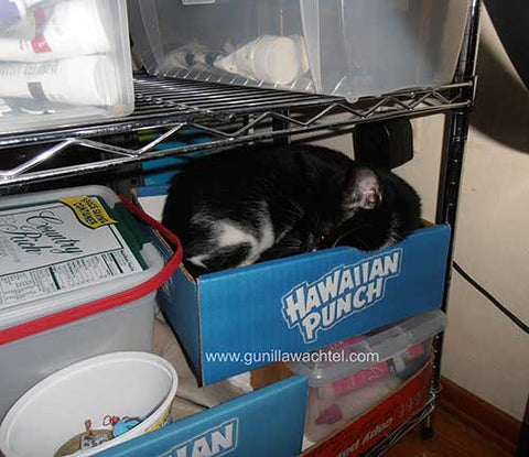 Tuxie in a Box in the Studio - cat cuteness - Kanweienea Kreations