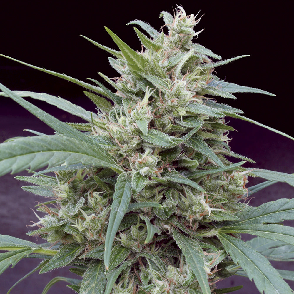 Big Monster Seeds Cannape Uk Skunkworks
