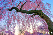 Load image into Gallery viewer, Cherry Blossom Photography, Cherry Blossom Art, Pink Wall Art, Cherry Blossoms Picture, Spring Photography, Sakura Flower Photo