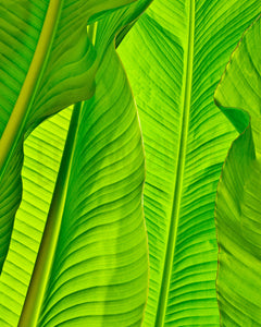Banana Leaves Photography, Tropical Photo, Tropical Decor, Tropical Photograph, Green Art, Tropical Wall Art, Tropical Leaves, Leaf Art