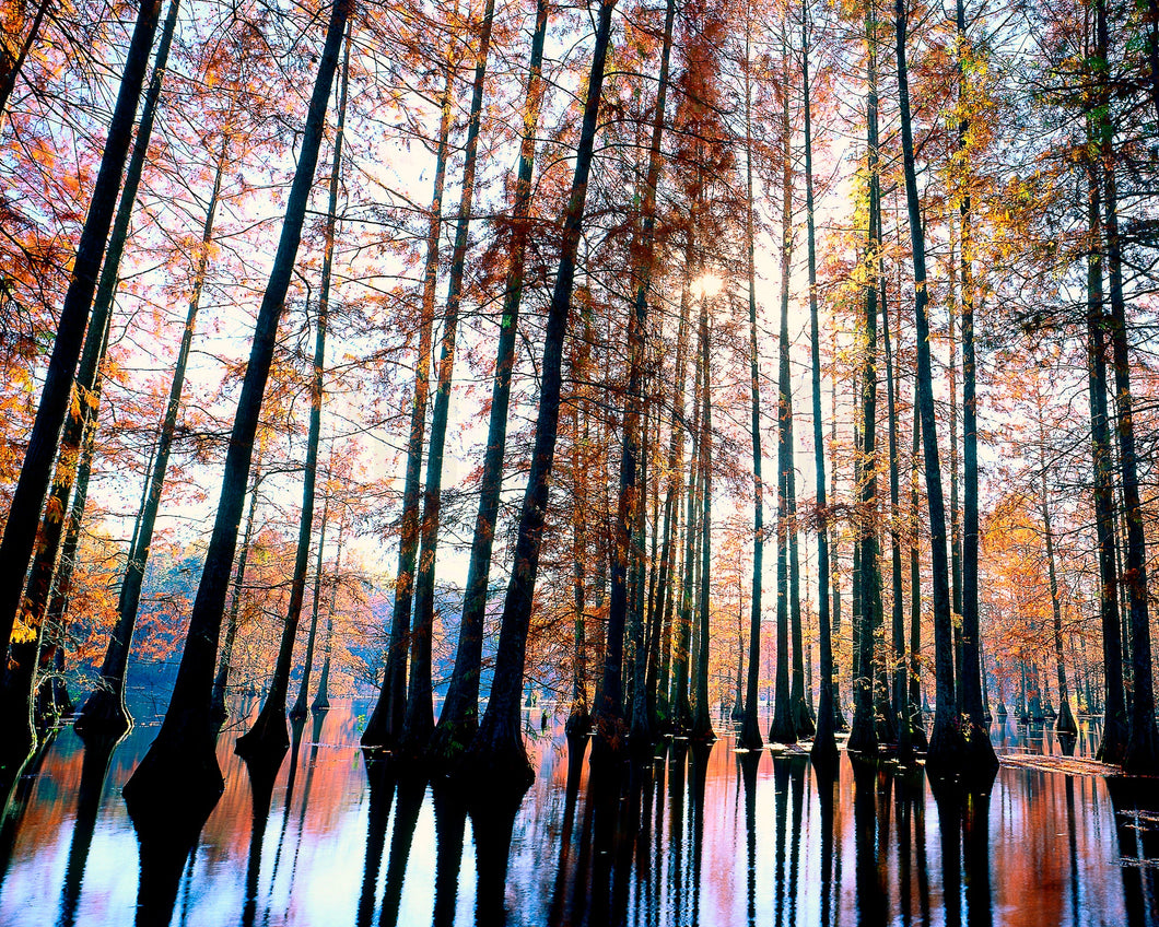 Trap Pond Delaware, Bald Cypress Grove, Tall Trees, Towering Tree Photography, Autumn Trees Wall Art, Fine Art Photograph