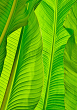 Load image into Gallery viewer, Banana Leaves Photography, Tropical Photo, Tropical Decor, Tropical Photograph, Green Art, Tropical Wall Art, Tropical Leaves, Leaf Art
