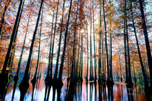 Load image into Gallery viewer, Trap Pond Delaware, Bald Cypress Grove, Tall Trees, Towering Tree Photography, Autumn Trees Wall Art, Fine Art Photograph