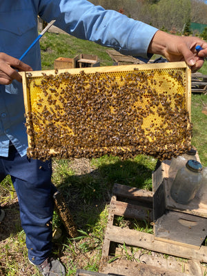 Mattituck, NY (Late April) Northeast 5 Frame Nucs - Promise Land Apiaries