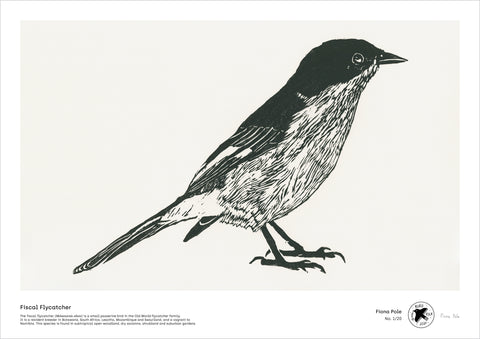Fiscal Flycatcher - A3 digital file by Fiona Pole