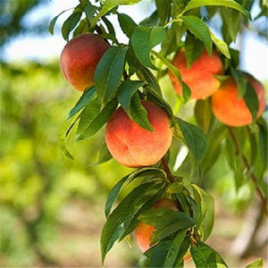 cozyrex,Egrow 10 Pcs/Pack Sweet Peach Seed Gardening Dwawf Peach Tree Bonsai Fruit Peach Seeds Plants,CozyRex,