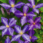 cozyrex,Egrow 100 Pcs/Pack Climbing Clematis Bonsai Seeds Perennial Courtyard Bonsai Flower Plants for Home Garden,CozyRex,