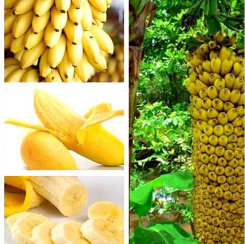 cozyrex,Egrow 30 Pcs Dwarf Banana Seeds Bonsai Tree Tropical Fruit Seeds Balcony Flower for Home Plants,CozyRex,