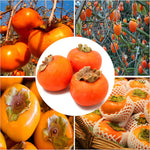 cozyrex,Egrow 30 Pcs / Pack Persimmon Tree Seeds Diospyros Kaki Fruit Seed Home Garden Bonsai Plants,CozyRex,