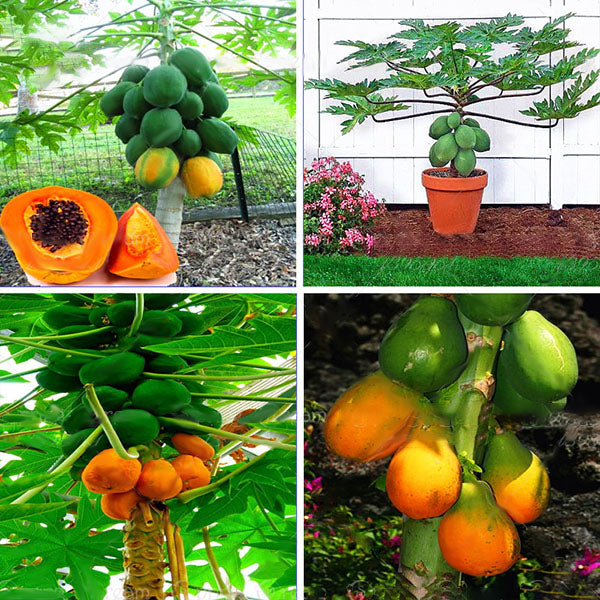 cozyrex,Egrow 15Pcs/Pack Carica Papaya Seeds Organic Edible Fruit Sweet Papaya Bonsai Outdoor Tree Seed,CozyRex,
