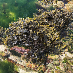 Image of bladderwrack on the beach with other seaweeds around it