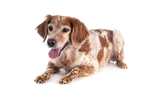 Top 10 Most Loyal Dog Breeds You Can Own
